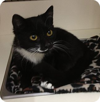 Domestic Shorthair Cat for adoption in Troy, Ohio - Gatsbie