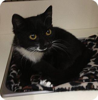 Domestic Shorthair Cat for adoption in Troy, Ohio - Gatsbie