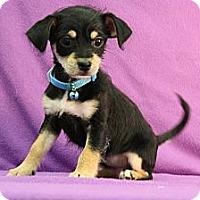 Adopt A Pet :: Spumante - Broomfield, CO