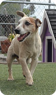 Jack Russell Terrier Mix Dog for adoption in San Pablo, California - JACKIE