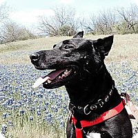 Adopt A Pet :: Stallone - Irving, TX