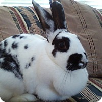 Adopt A Pet :: Snowflake - Watauga, TX