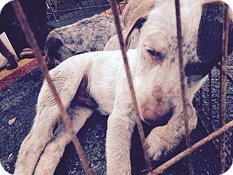 Catahoula Leopard Dog/Doberman Pinscher Mix Puppy for adoption in Beeville, Texas - Jazz