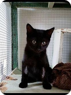 Domestic Shorthair Kitten for adoption in Lindsay, Ontario - Jack