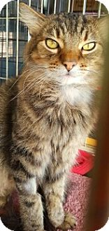 Maine Coon Cat for adoption in Lyons, Illinois - Kenshaw