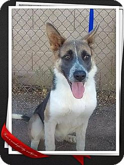 Australian Shepherd/German Shepherd Dog Mix Dog for adoption in Mesa, Arizona - Fonzi