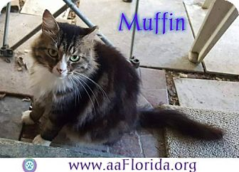 Maine Coon Cat for adoption in Pensacola, Florida - Muffin