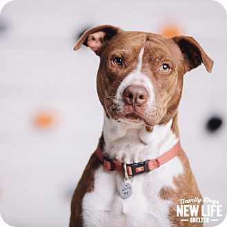 Staffordshire Bull Terrier Rescue Oregon Dozey | Adopted Dog | ...