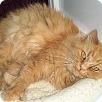 Persian Cat for adoption in Santa Fe, New Mexico - Jazz