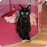 Domestic Shorthair Kitten for adoption in Lombard, Illinois - Coco