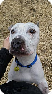 Terrier (Unknown Type, Medium)/Pit Bull Terrier Mix Dog for adoption in Cleveland, Ohio - Beckett