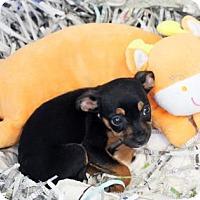 Adopt A Pet :: Tinker Bell - Atlanta, GA