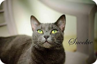 Russian Blue Cat for adoption in Middleburg, Florida - Snookie