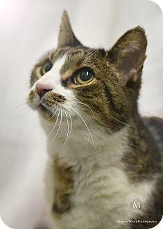 Domestic Shorthair Cat for adoption in St. Louis, Missouri - Luigi