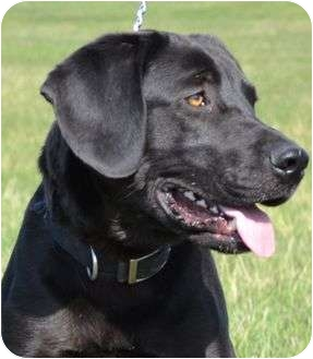 Labrador Retriever Mix Dog for adoption in Newport, Vermont - Rooney