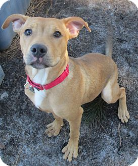 Labrador Retriever Mix Puppy for adoption in Forked River, New Jersey - Skipper