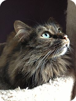Domestic Longhair Cat for adoption in Byron Center, Michigan - Trista