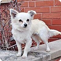 Adopt A Pet :: Tez - Bridgeton, MO