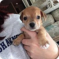 Adopt A Pet :: Daisy - Precious - Marlton, NJ
