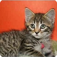 Adopt A Pet :: BEVERLEY - SILVER SPRING, MD