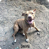 Pit Bull Terrier Mix Dog for adoption in Thomasville, North Carolina - Daisy