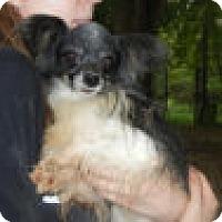 Adopt A Pet :: Petit - Antioch, IL