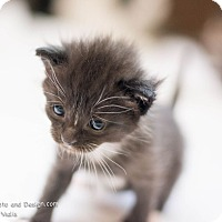 Adopt A Pet :: Silas - Fountain Hills, AZ