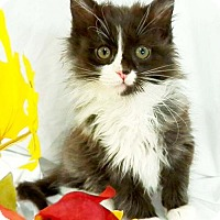 Adopt A Pet :: Shadow - Harrisonburg, VA