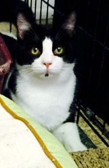 Domestic Shorthair Cat for adoption in Chattanooga, Tennessee - Morpheus