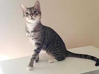 Domestic Shorthair Cat for adoption in Baton Rouge, Louisiana - Ginger