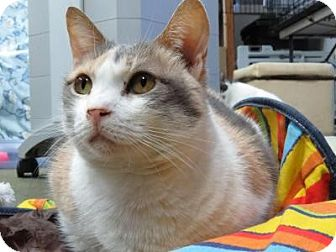 Calico Cat for adoption in San Carlos, California - Candy