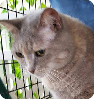 Domestic Shorthair Cat for adoption in Coral Springs, Florida - Maggy