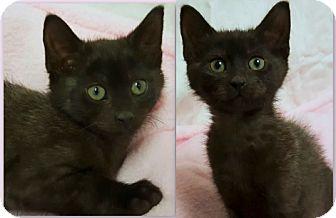 Domestic Shorthair Kitten for adoption in Rancho Cucamonga, California - Mischa- RC PetSmart