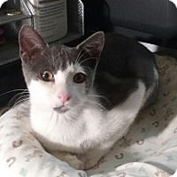 Domestic Shorthair Kitten for adoption in Wantagh, New York - Peanut