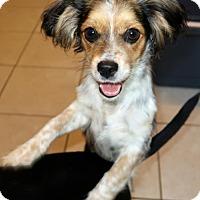 Adopt A Pet :: Tabby - Burbank, OH