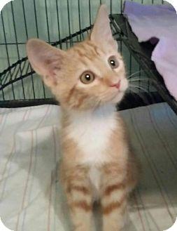 Domestic Shorthair Kitten for adoption in San Tan Valley, Arizona - Milo