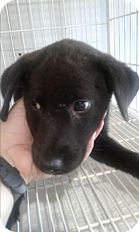 Labrador Retriever Mix Puppy for adoption in Mantua, New Jersey - Kole