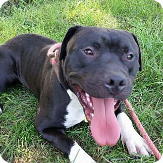 Pit Bull Terrier Mix Dog for adoption in Cleveland, Ohio - Mork