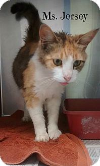 Domestic Shorthair Cat for adoption in Spring Brook, New York - Ms. Jersey