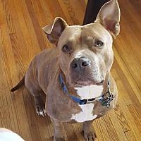 American Pit Bull Terrier Dog for adoption in Fredericksburg, Virginia - Juke- Courtesy Listing