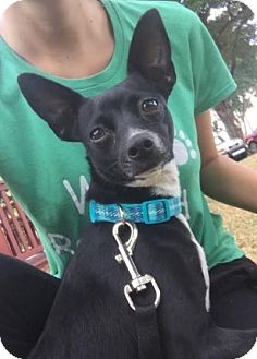 Chihuahua Mix Puppy for adoption in Boca Raton, Florida - Trixie