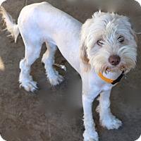 Adopt A Pet :: Allegra - MEET ME - Norwalk, CT