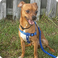 Chihuahua/Miniature Pinscher Mix Dog for adoption in Wilmington, North Carolina - MARTY