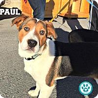 Adopt A Pet :: Paul - Kimberton, PA