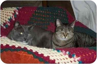 Domestic Shorthair Cat for adoption in Secaucus, New Jersey - Frankie and Johnny