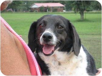 Beagle Mix Dog for adoption in Salem, New Hampshire - Sidney