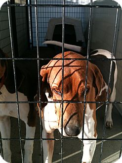 Treeing Walker Coonhound Mix Dog for adoption in Yuba City, California - 02/20 Unnamed
