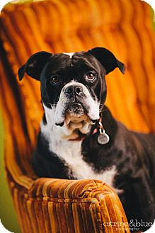 English Bulldog/Boxer Mix Dog for adoption in Portland, Oregon - Honey Badger