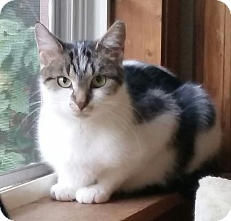Domestic Shorthair Cat for adoption in Palatine, Illinois - Delilah