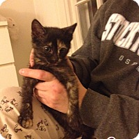 Domestic Shorthair Cat for adoption in Pittstown, New Jersey - Pierette